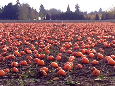 Autumn Seed Corvallis, Oregon Pumpkins in the field