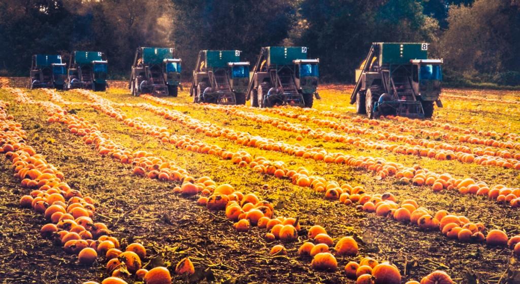 Combines harvesting pumpkins in the Willamette Valley, Oregon